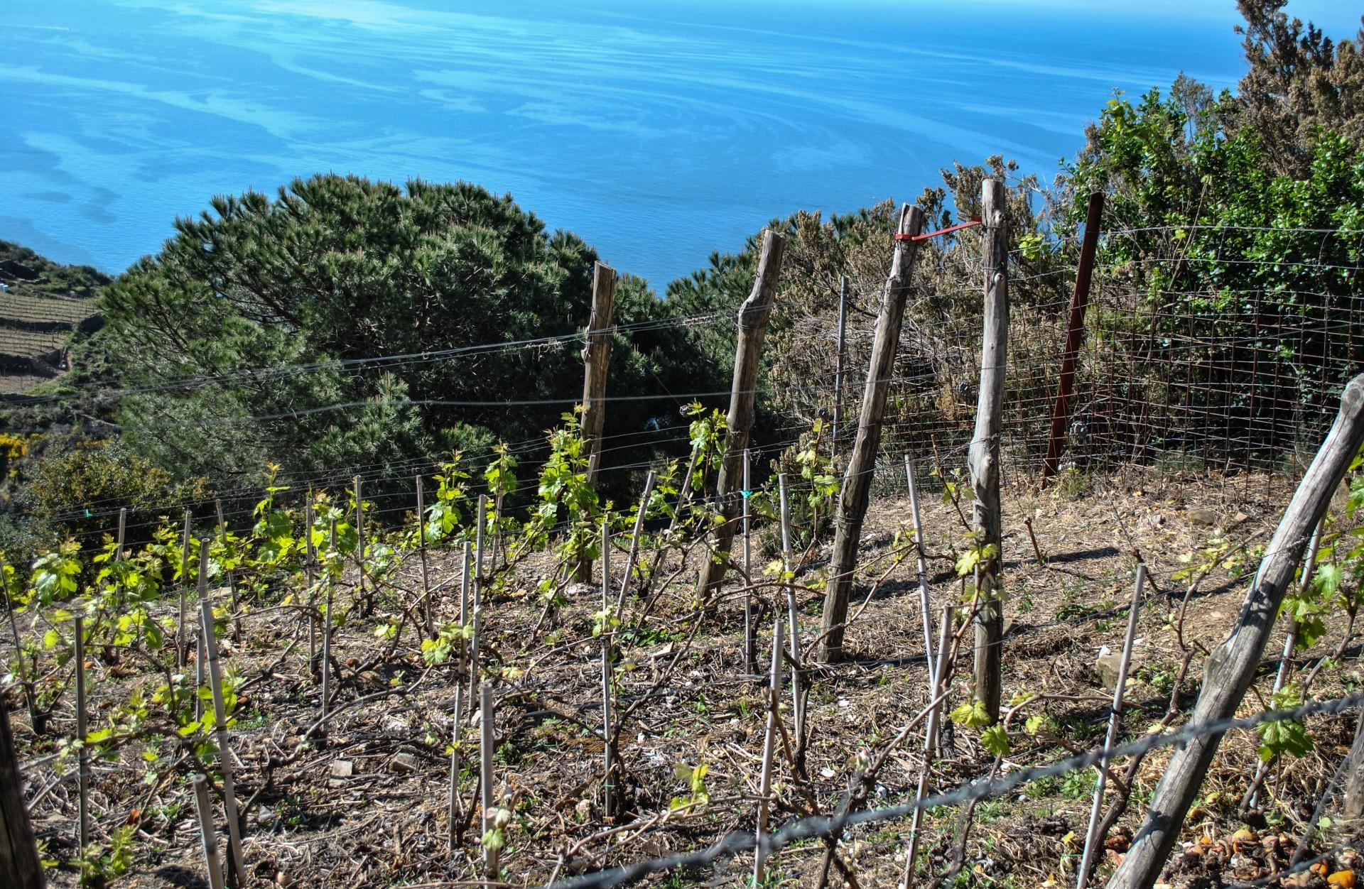 Tour del vino Cinque Terre: visita nel vigneto e degustazione con il vignaiolo