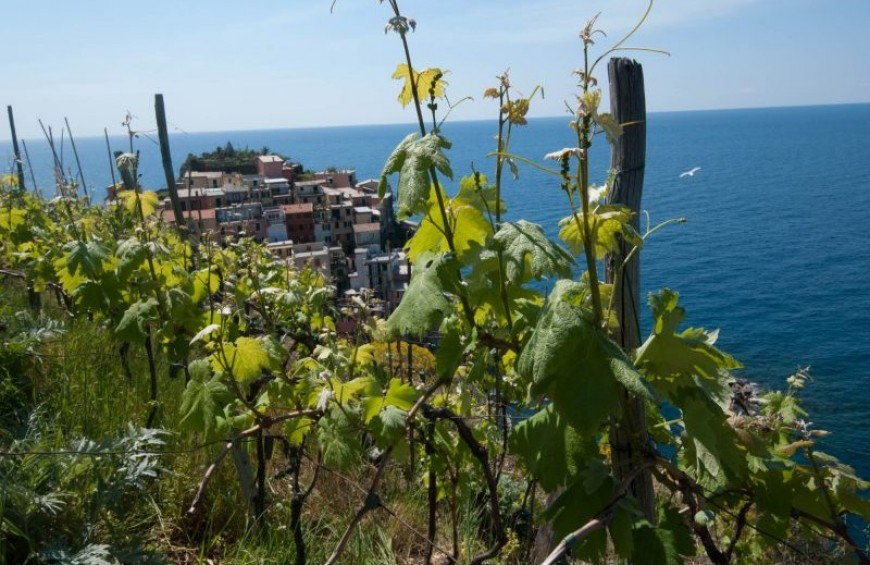 Wine Tour Manarola: walking through the vineyards and tasting